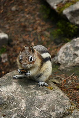 Chipmunk Sitting On A Rock  Poster by Christiane Schulze Art And Photography