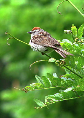 Chipping Sparrow Poster by Deborah Johnson