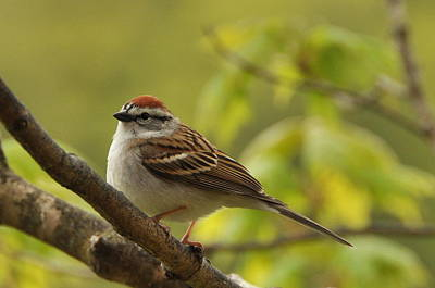 Chipping Sparrow In Sugar Maple Poster