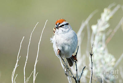 Poster featuring the photograph Chipping Sparrow by Mike Dawson