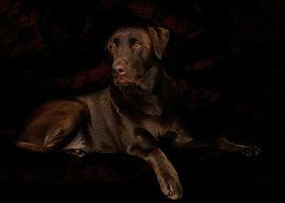 Chocolate Lab Dog Poster by Christine Till