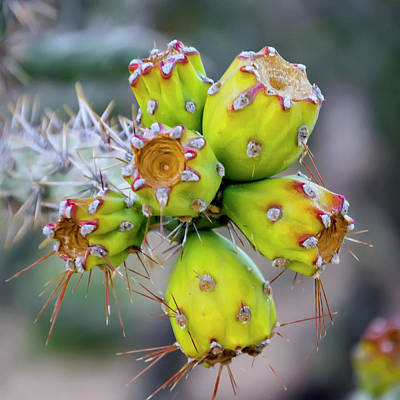 Poster featuring the photograph Cholla Fruit S48 by Mark Myhaver