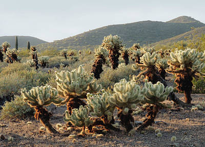 Cholla Patch Poster