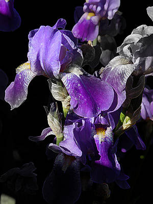 Poster featuring the photograph Chris' Garden - Purple Iris 1 by Stuart Turnbull