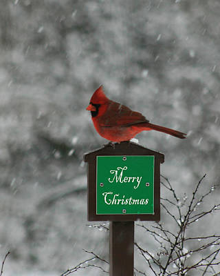 Christmas Cardinal Male Poster by George Jones