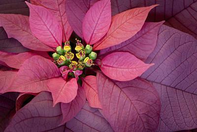 Christmas Poinsettia Poster by Barbara Smith