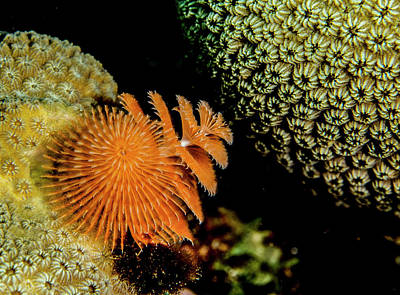 Christmas Tree Worm In The Corner Poster by Jean Noren