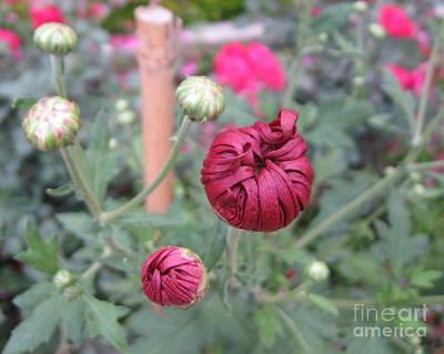 Chrysanthemum 21 Poster by Padamvir Singh