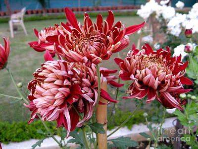 Chrysanthemum 4 Poster by Padamvir Singh
