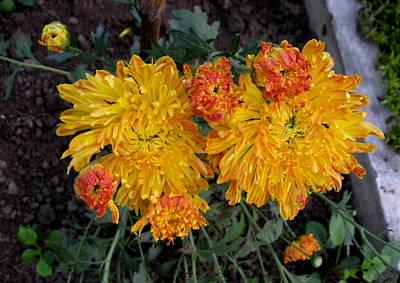 Chrysanthemum 6 Poster by Padamvir Singh