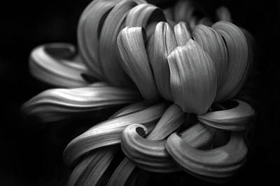 Chrysanthemum Curls Monochrome Poster by Jessica Jenney