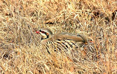 Poster featuring the photograph Chuckar Bird Hiding In Grass by Sheila Brown