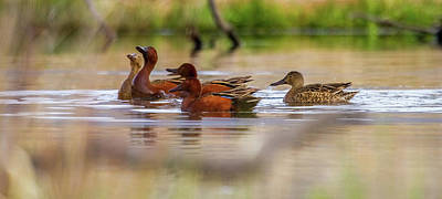 Cinnamon Teal - The Dance Poster by TL Mair