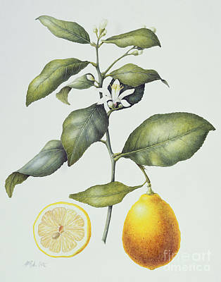 Citrus Lemon Poster by Margaret Ann Eden