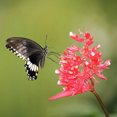 Poster featuring the photograph Citrus Swallowtail by Grant Glendinning