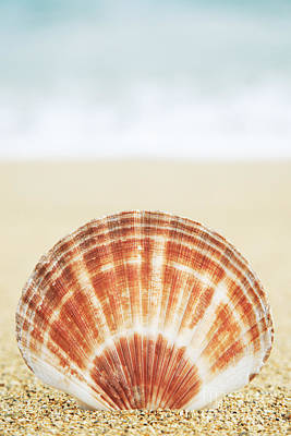 Clam Shell Poster by Brandon Tabiolo - Printscapes
