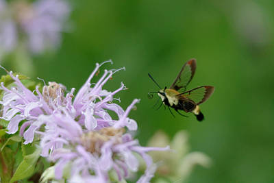 Clearwing Moth Poster