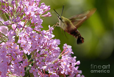 Clearwing Pink Poster by Randy Bodkins