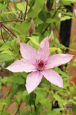 Clematis Hagley Hybrid #2 Poster