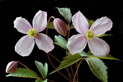 Poster featuring the photograph Clematis Montana Rubens by Terence Davis