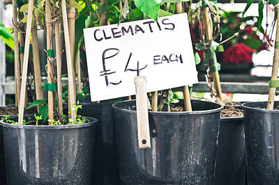 Clematis Plants Poster