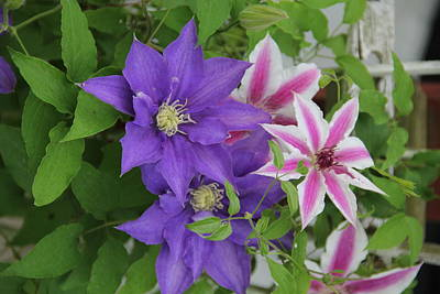 Clematis Purple And Pink White Poster