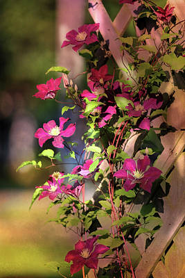 Clematis With Dappled Sunlight Poster by Theresa Campbell