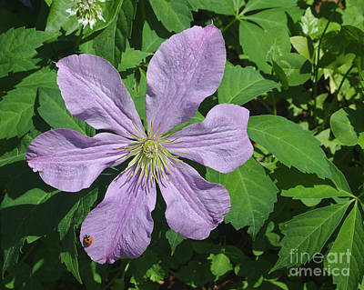 Clematis With Lady Bug Poster