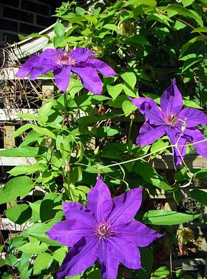 Poster featuring the photograph Climbing Clematis by Susan Carella