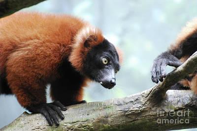 Climbing Red Ruffed Lemur On A Fallen Log Poster