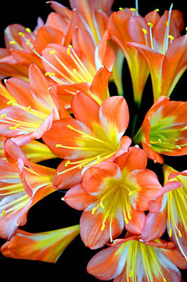Clivia Miniata. Orange Flowered Form. Poster by Andy Za