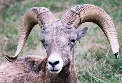 Close Up Big Horn Sheep Poster