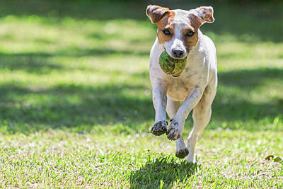 Close Up Jack Russell Terrier Running Poster by Kalypso World Photography