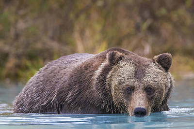 Close Up Of A Coastal Brown Bear  Ursus Poster by Rob Daugherty