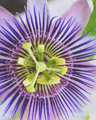 Close Up Of A Passion Flower Poster by Ramneek Narang