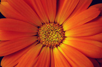 Close Up Of An Orange Daisy Poster