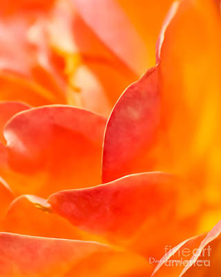 Poster featuring the photograph Close-up Of An Orange Rose Flower by David Perry Lawrence