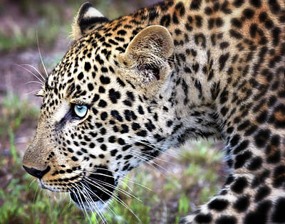 Close Up Of Blue Eyed Leopard Poster