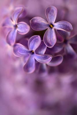 Close Up Of Fresh Lilac Poster by Jaroslaw Blaminsky