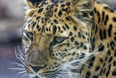 Close Up Of Leopard Poster