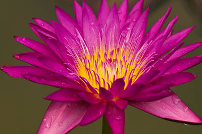 Close Up Of Pink Water Lily Poster