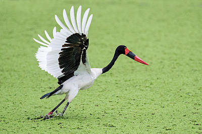 Close-up Of Saddle-billed Stork Poster