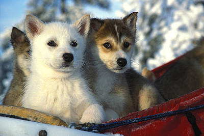 Close Up Of Siberian Husky Puppies Poster by Nick Norman