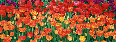 Close-up Of Tulips In A Garden Poster