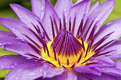 Close Up Of Violet Water Lily Poster