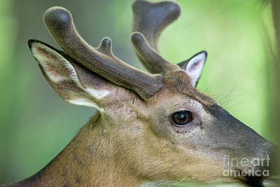 Close Up  Of Whitetail Deer Buck With Velvet Antlers Poster by Dan Friend