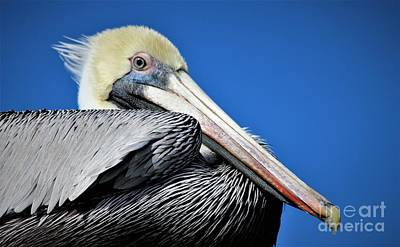 Close Up Pelican Poster by Paulette Thomas