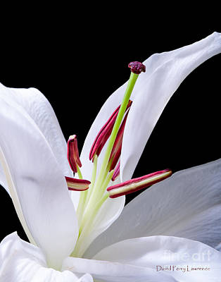 Poster featuring the photograph Close-up Photograph Of A White Oriental  Lily by David Perry Lawrence