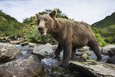 Close-up View Of Coastal Brown Bear Poster by Paul Souders