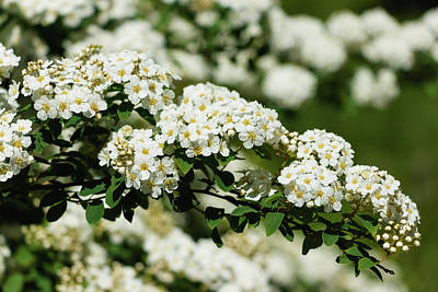 Poster featuring the photograph Close-up White Spirea Bush by Cristina Stefan